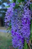 De purpere bloembossen neigen tegelijkertijd te bloeien en te bloeien De bloemen zijn vrij bloeiend en zullen voor vele dagen blo stock foto's