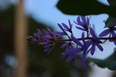 De purpere bloembossen neigen tegelijkertijd te bloeien en te bloeien De bloemen zijn vrij bloeiend en zullen voor vele dagen blo royalty-vrije stock afbeelding