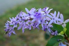 De purpere bloembossen neigen tegelijkertijd te bloeien en te bloeien De bloemen zijn vrij bloeiend en zullen voor vele dagen blo stock fotografie
