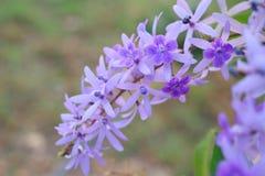De purpere bloembossen neigen tegelijkertijd te bloeien en te bloeien De bloemen zijn vrij bloeiend en zullen voor vele dagen blo stock afbeeldingen