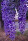 De purpere bloembossen neigen tegelijkertijd te bloeien en te bloeien De bloemen zijn vrij bloeiend en zullen voor vele dagen blo royalty-vrije stock afbeeldingen