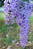 De purpere bloembossen neigen tegelijkertijd te bloeien en te bloeien De bloemen zijn vrij bloeiend en zullen voor vele dagen blo royalty-vrije stock fotografie