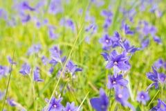 De purpere bloemen die van Monochoriavaginalis in selectief moeras bloeien Stock Fotografie