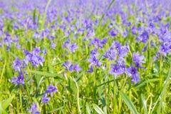 De purpere bloemen die van Monochoriavaginalis in selectief moeras bloeien Royalty-vrije Stock Fotografie