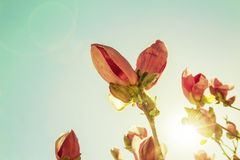 De purpere bloemen, purpere magnolia, purpere magnoliabloemen onder backlight, magnoliatakken, verbleken - groene achtergrond, kl stock afbeelding