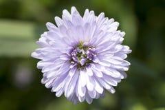 De purpere Bloemen van de Aster Royalty-vrije Stock Afbeelding
