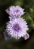 De purpere Bloemen van de Aster Stock Fotografie