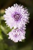 De purpere Bloemen van de Aster Royalty-vrije Stock Foto