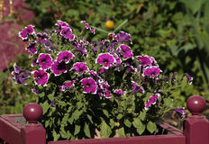 De purpere Bloemen van de Petunia Royalty-vrije Stock Afbeelding