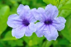 De purpere bloemen van het paar Stock Afbeeldingen