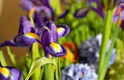 De purpere bloemen van xiphian irissen Siberiër zijn onder het groene gras royalty-vrije stock foto