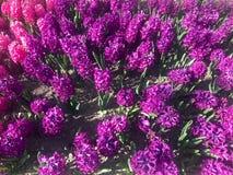 De purpere bloesem van hyacintbloemen Royalty-vrije Stock Foto