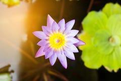 De purpere en gele lotusbloem of de waterlelie met reusachtig groen water doorbladeren in donkere vijver met oranje licht Bloemen Royalty-vrije Stock Afbeeldingen