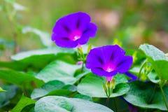 De purpere glorie van de bloemenochtend op een heldergroene background_ stock foto's