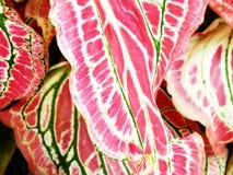 De purpere groene en witte bladeren van de caladiuminstallatie Royalty-vrije Stock Foto's