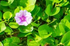 De purpere hyacinten worden omringd door groene bladerenachtergrond Royalty-vrije Stock Fotografie