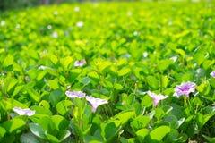 De purpere hyacinten worden omringd door groene bladerenachtergrond Stock Foto's