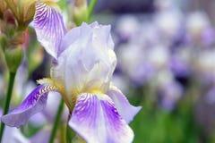 De purpere iris bloeit dicht omhoog Royalty-vrije Stock Afbeelding