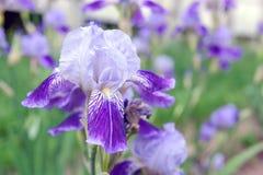 De purpere iris bloeit dicht omhoog Stock Foto's