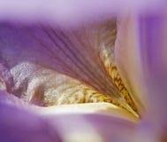 De purpere Iris van het bloemblaadje Stock Afbeeldingen