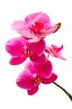De purpere kleine tak van orchideeënbloemen met knop Royalty-vrije Stock Afbeelding