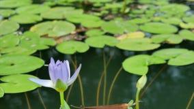 De purpere lotusbloem bloeit in de vijver bij avond stock footage