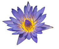 De purpere lotusbloem isoleted Stock Foto's