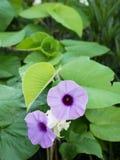De purpere Olifantsklimmer bloeit Ivy Bloomin royalty-vrije stock foto's