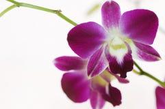 De purpere orchidee van Ne in nadruk Stock Fotografie