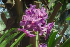 De purpere orchideebloemen met witte vlekken op de bladeren sluiten omhoog Stock Fotografie