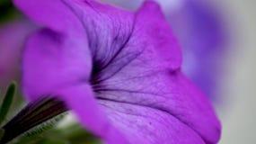 De purpere petunia absorbeert het zon` s gouden stof, Royalty-vrije Stock Foto