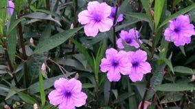 De purpere Petunia is in de tuin stock footage