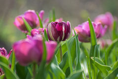 De purpere tulp kan binnen dag stock afbeeldingen