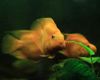 De purpere Vissen van de Papegaai Stock Afbeeldingen