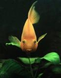 De purpere Vissen van de Papegaai Royalty-vrije Stock Afbeeldingen