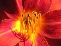 De purperrode, gele azalea van de bloem Stock Afbeeldingen