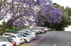 De purpurfärgade blomningarna av jakarandaträden som faller på bilar som parkeras på en kulle i Australien royaltyfria foton