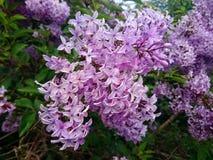De purpurfärgade lilorna Royaltyfri Bild