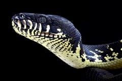 De python van Boelen (boeleni van Morelia) stock foto's