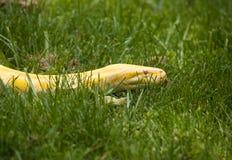 De Python van de albino Royalty-vrije Stock Afbeeldingen