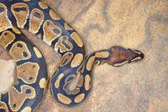 De Python van de bal Royalty-vrije Stock Afbeelding