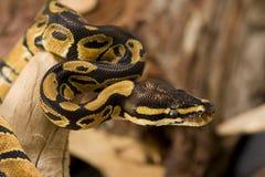 De Python van de bal Royalty-vrije Stock Foto's