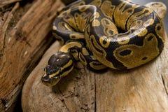 De Python van de bal Royalty-vrije Stock Afbeeldingen