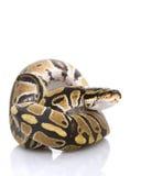 De Python van de bal stock afbeeldingen