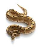 De Python van de Bal van de spin royalty-vrije stock foto's