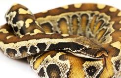 De Python van het bloed Stock Foto's