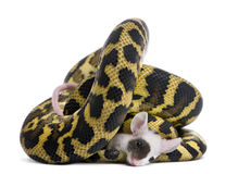 De python van spilotavariegata van Morelia, die muis eet Royalty-vrije Stock Foto's