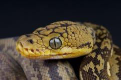 De python van Timor Royalty-vrije Stock Afbeeldingen
