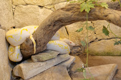 De pythonreticulatus met een netvormig patroon van albinopythonor Stock Afbeeldingen