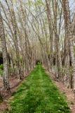 De río de los abedules carril herboso abajo Fotografía de archivo libre de regalías